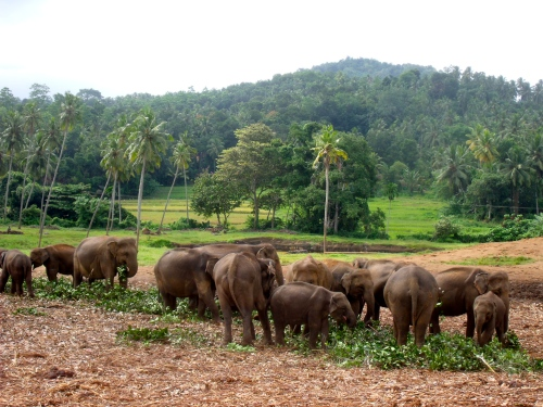 Elephant orphanage Pinnewela, Sri Lanka